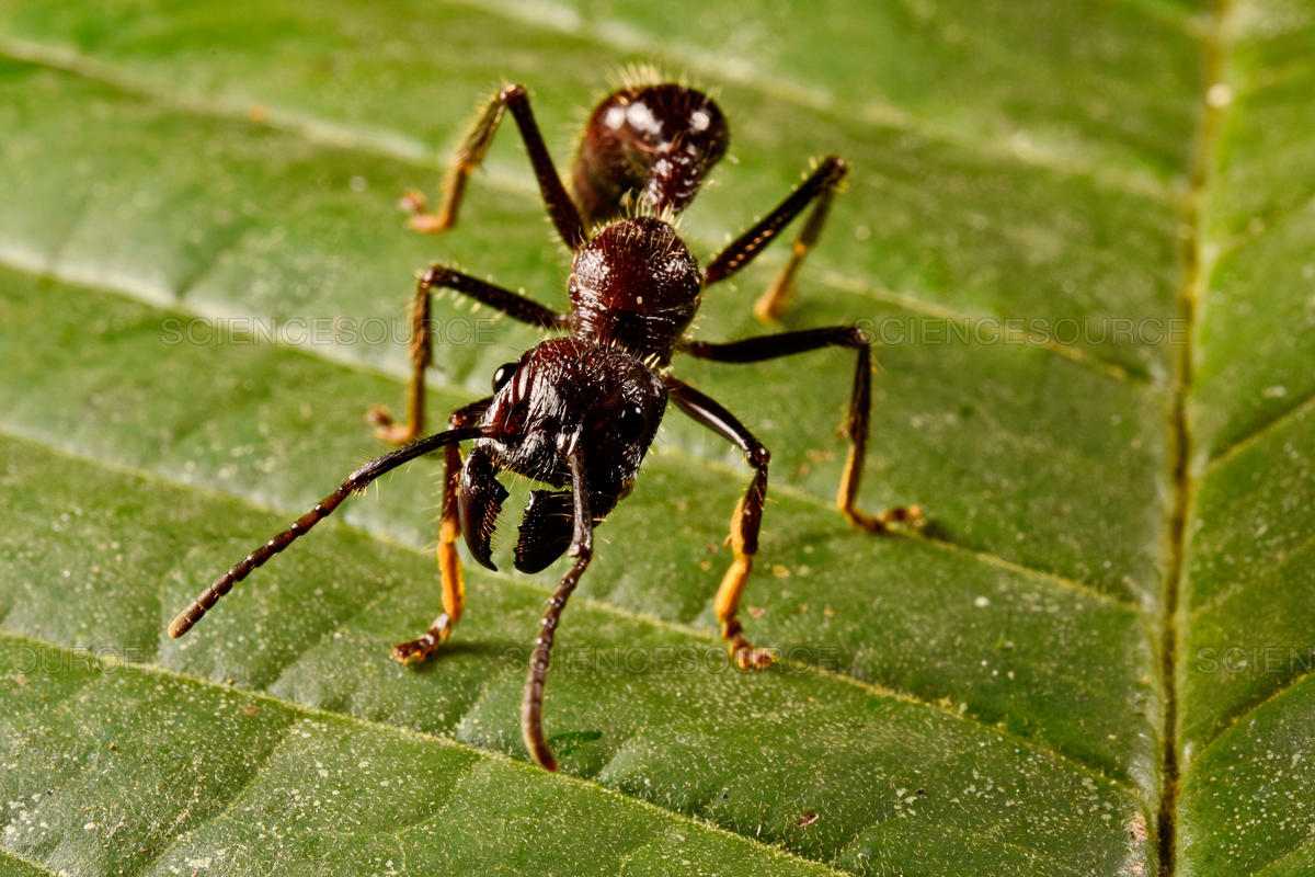 Specific Antibiotic-Secreting Ants Can Restrain At Least 14 Crop Diseases